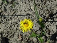 Весна пришла, а на полях вокруг Кременца цветут цветы и особо полезный камень кремень (оказывается он растёт так же как и жемчуг!)